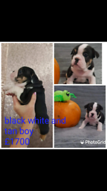 Beautiful kc registered french bulldog pups
