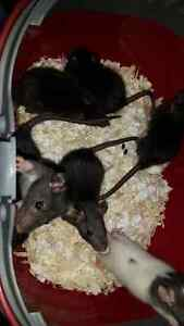 Beautiful baby rats from pregnant rescued mom