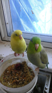 2 Parrotlets and cage
