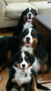 Short term home care for 3 gentle Bernese July 28 and 29