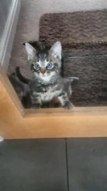 Fluffy Kitten (girl)