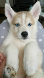 Husky x | Dogs & Puppies for Sale - Gumtree