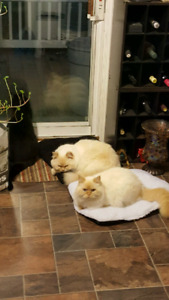 2 brother Himalayans in need of a good home