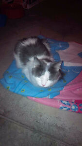 FOUND WHITE AND GREY CAT