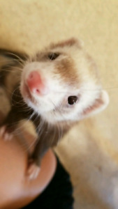 Female fixed Ferret, comes with cage