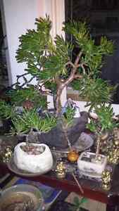The Jaded Bonsai Collection.  Cambridge Kitchener Area image 2