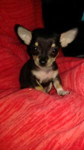 Chihuahua teakup
