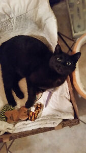 Lost Black Cat In Unfamiliar Area Fort Erie and From Hamilton