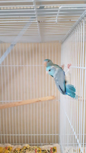 Pairs of Parrotlets