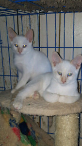 SIAMESE  Flame Point & chocolate point
