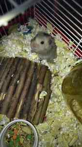 One hamsters - must rehome.