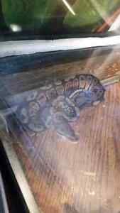 Baby ball python need gone.