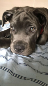 CANE CORSO X PUPPIES FOR SALE