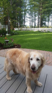 Missing Golden Retriever in Petawawa