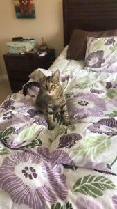 8 month old tabby
