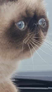 Exotic Male cat, seal point extreme face, show quality