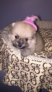 Teacup and Toy Pomeranian Puppies  ❤️❤️❤️ Teacup or Toy