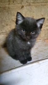 Blue/Grey Kitten - stunning British Blue like colours, super affectionate
