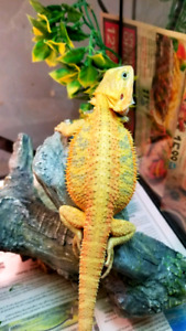 Beautiful high color and speciality bearded dragons