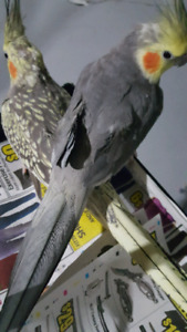 Breeding pair cockatiel for sale