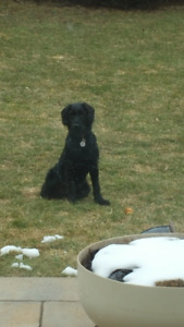 Labradoodle for sale !!!!