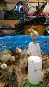 Heritage turkey poults for sale