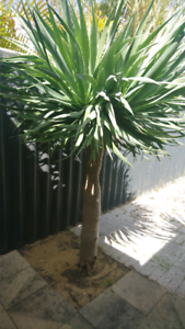 Dragon Tree Hamersley Stirling Area Preview