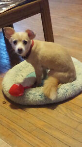 Looking for a special home for a chihuahua !