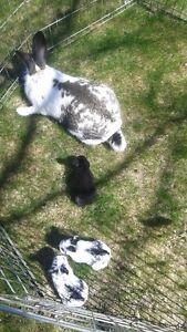 Free Babie rabbits Checkerd giant mixed breed