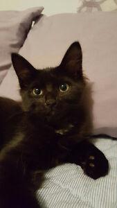 1 Male Ragdoll / Tabby Kitten