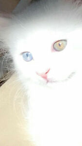 Pure white kitten with blue eyes