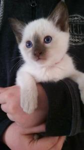 Siamese kitten for sale (sold)