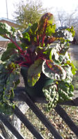 Organic Locally Grown Swiss Chard - Free Delivery
