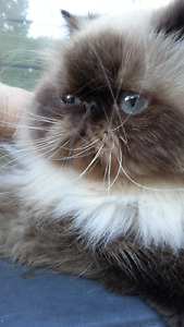 Registered Seal Point Himalayan Female