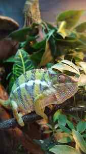 2 year old male PANTHER chameleon