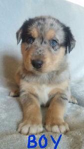 Siberian Husky/Blue Merle Shepherd Puppies