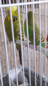Proven Pair Of Green Budgies