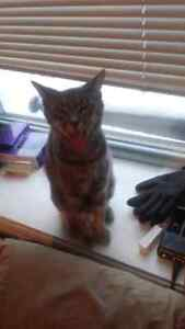 Free friendly cat to a good home! Cambridge Kitchener Area image 5