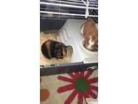 Guinea pigs with cage, house,hay rack, a water bottle and a water bottle holder