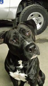 FOSTER WANTED... Luna is American Bulldog Lab Mix, 4 years old