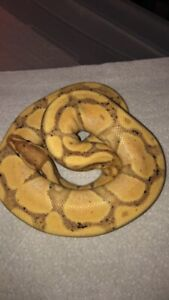 Banana pastel ball python good price this weekend only