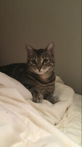 """Young female cat - Tabby - """"mewo meow"""""""
