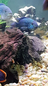South American cichlids and central American