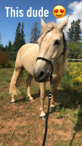 6 year old QH X draft for sale