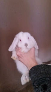 Adorable Colour Point baby Mini Lop Bunny Rabbits Available.