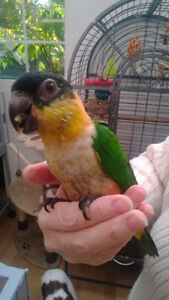 ❤♥☆♥ CAIQUE ♥ Babies with Cage and Food ♥☆♥❤ London Ontario image 6