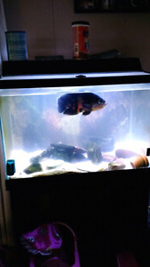 Oceanic tank with stand and accessories with Oscar fish
