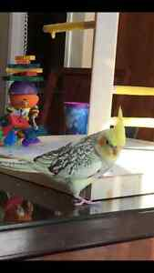 Lost Cockatiel