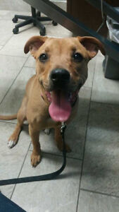 Frankie - Lost Female Dog - Tan Boxer/Lab Mixed Breed London Ontario image 1