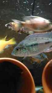 cichlid clear out cheap